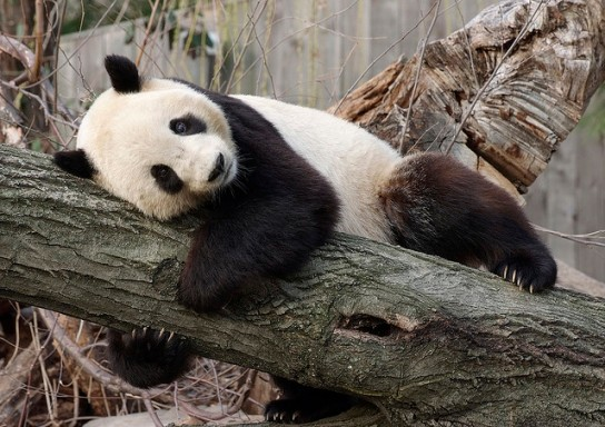 Tai Shan at the National Zoo in 2009 He was the first giant panda born in the U.S. to survive more than a couple of days.
