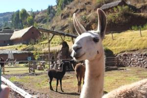 Llama Sanctuary